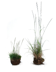 2 -Johnsons Campaign for Quality - Johnsons Lawn Seed (L) v low quality competitor (R)
